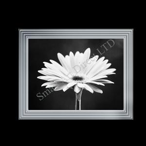 Black & White Gerbra
