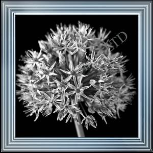 Black & White Allium I