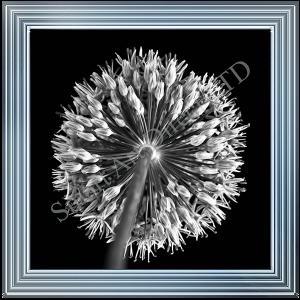 Black & White Allium II